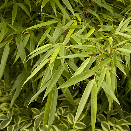 chartreuse bamboo leaves