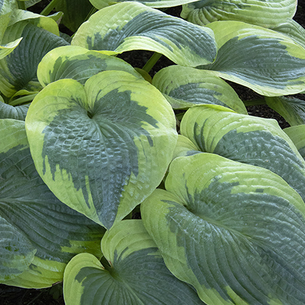 textured hosta leaves with creamy green margins