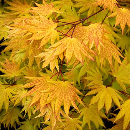 maple leaves turning orange in autumn
