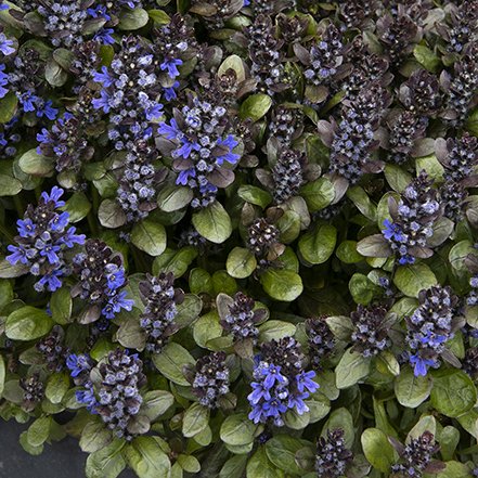 green leaves and blue flowers on ajuga plant