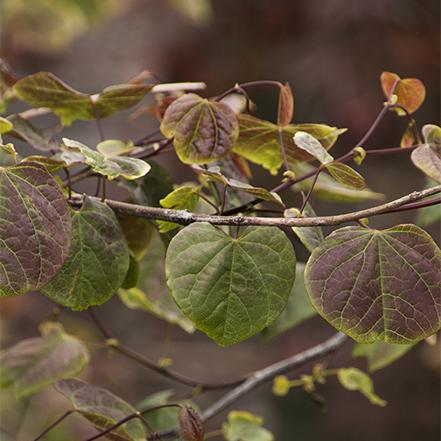 green and dark purple redbud leaves