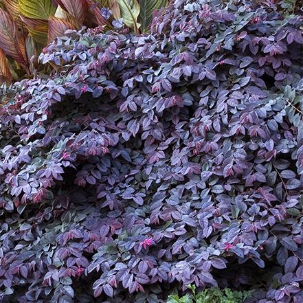purple fringe flower leaves