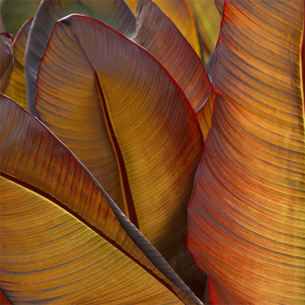 backlit red and copper banana leaves