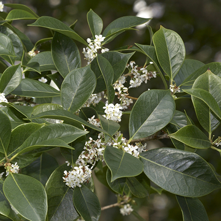 green sweet osmanthus leaves with small white flowers