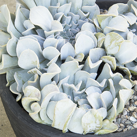 ice-blue succulent with ruffled edges