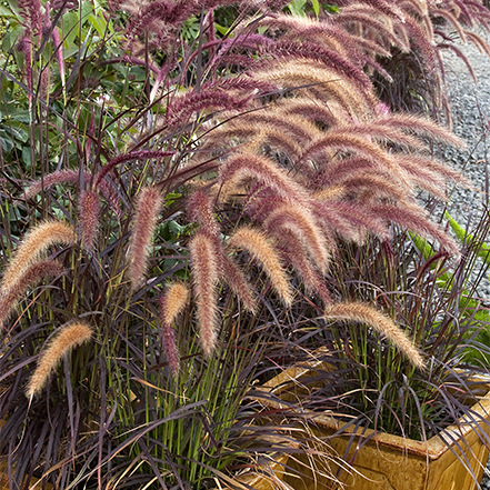 purple fountain gras with seedless plumes in container
