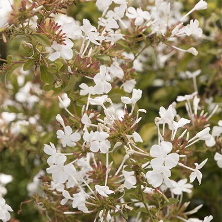 white plumbago flowers