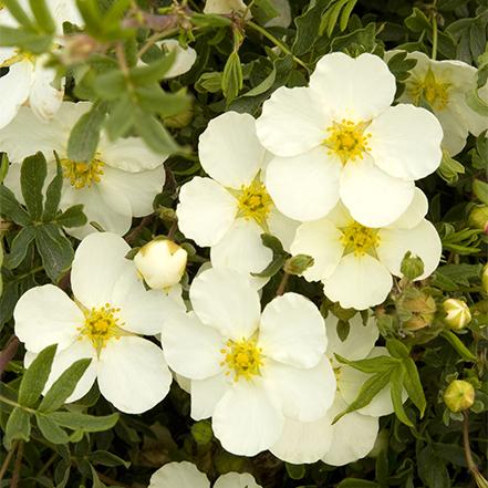 white flowers on potentilla shrub