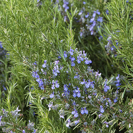 close-up on rosemary flowers