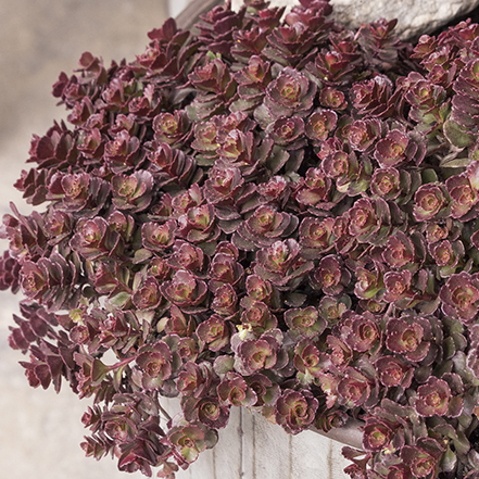 bronze and red sedum spilling over side of container