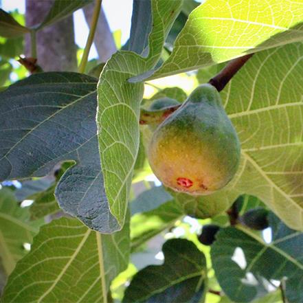 fig fruit on fig tree