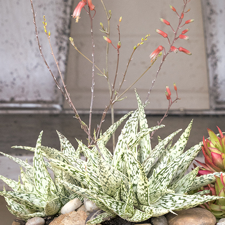 light green aloe with dark green zig zags and pink flowers