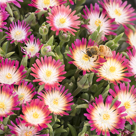 pink, white and yellow flowers on jewel of desert ice plant