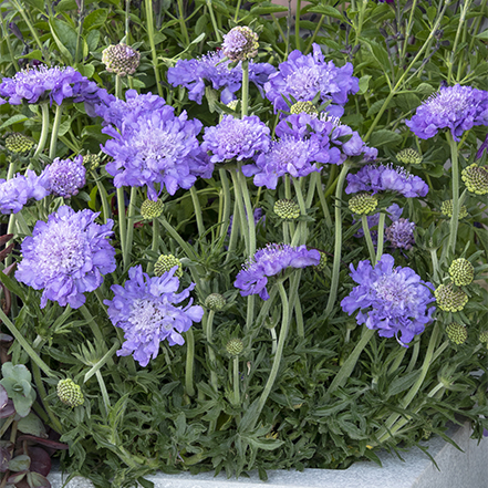 purple pincushion flowers in container