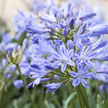 blue drought-tolerant agapanthus flowers