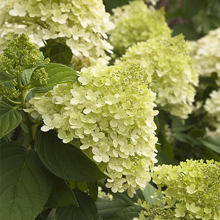 limelight hardy hydrangea flowers