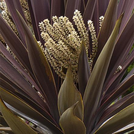 blooming purple cordyline palm