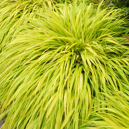 chartreuse all gold japanese forest grass