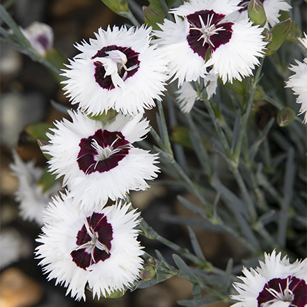 white dianthus flowers with maroon center