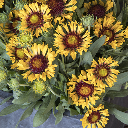 yellow blanket flowers in metal container
