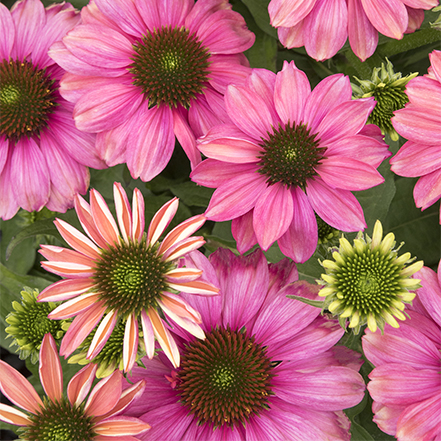purple and pink coneflowers