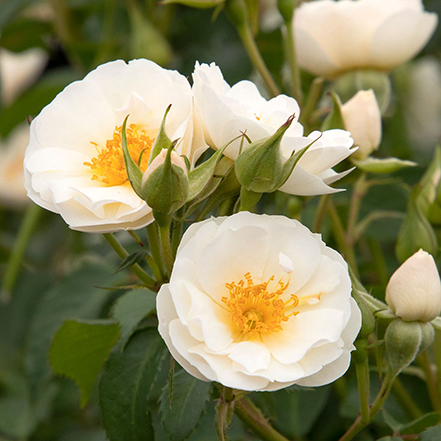 white rose flowers with yellow center and green leaves