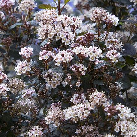 flowers on little joker ninebark