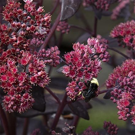 pollinator plant picture: burgundy sedum with bee