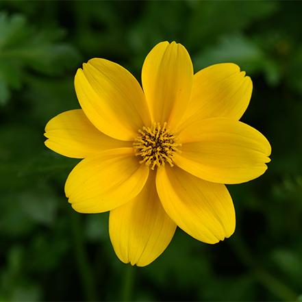 yellow bidens flower