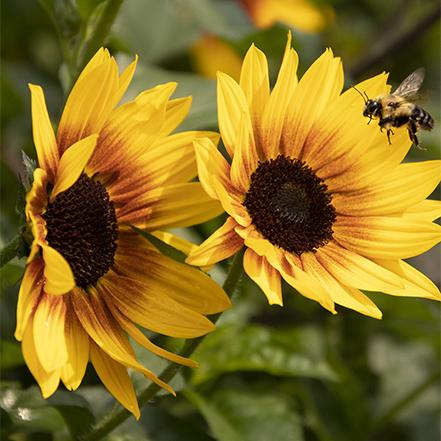 heat-tolerant, full-sun yellow sunflower with visiting bee