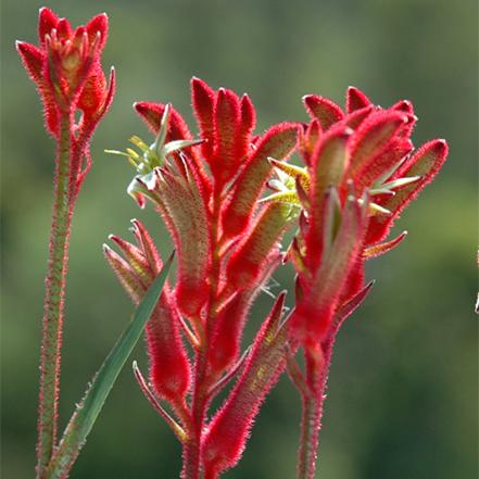 red kangaroo paw flowers do well in full sun and heat