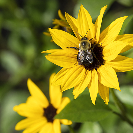yellow sunflower with bee at center