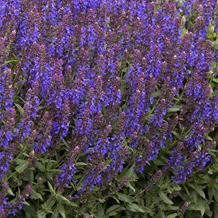 purple meadow sage flowers