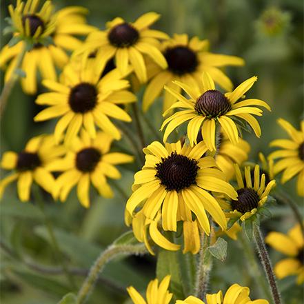 yellow black eyed susans