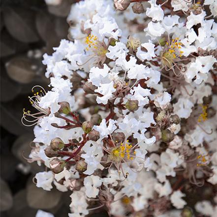 white flowers on summerlasting coconut crape myrtle