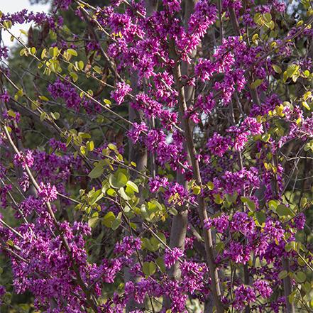pink-purple western redbud flowers