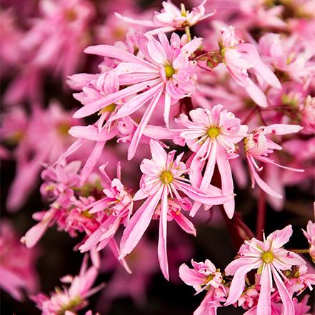Pink Elf® Saxifrage