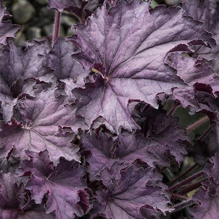 deep purple foliage on grande amethyst coral bells