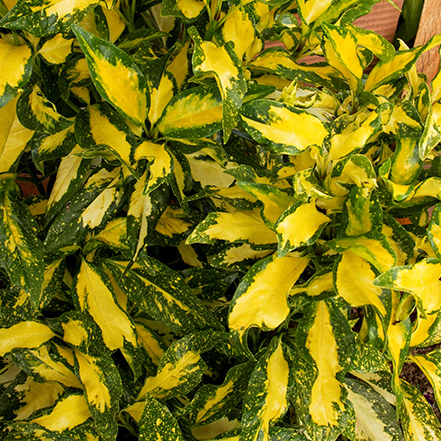 green aucuba leaves with yellow interior