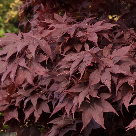 red bloodgood japanese maple leaves