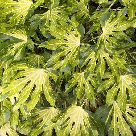 camoflage fatsia aralia