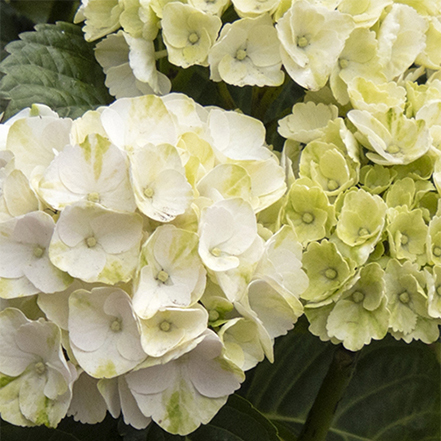 white cape lookout hydrangea flowers