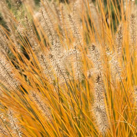 dwarf fountain grass plumes add softness to fall gardens