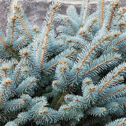 441sq_dwarf_globe_blue_spruce