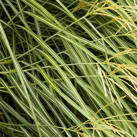 green dwarf maiden grass
