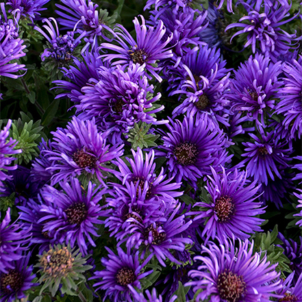 dark purple aster flowers bloom in late summer and fall