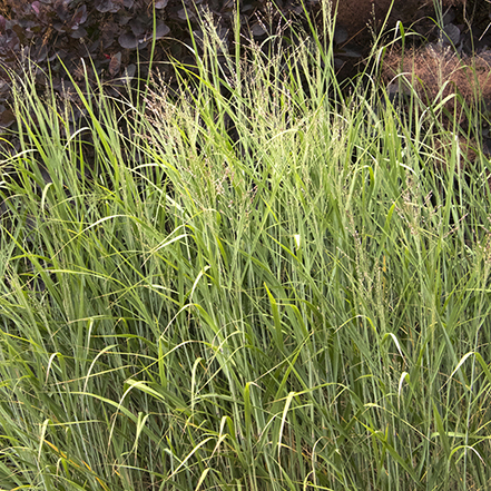 green heavy metal blue switchgrass