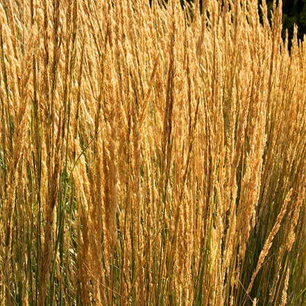 overdam feather reed grass has rich gold foliage in fall