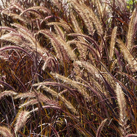 purple fountain grass with seedless plumes in container