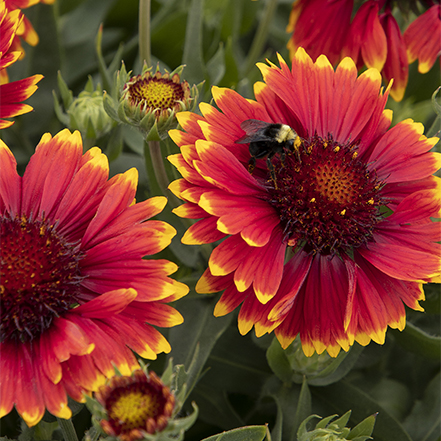 sunset flash blanket flower red and yellow flowers bloom into fall